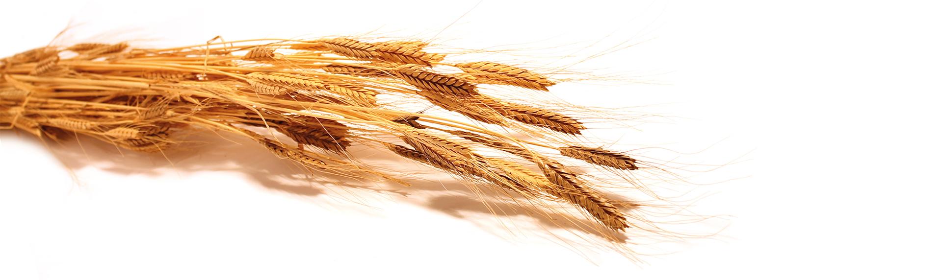 pane dell'anno 1000- panificio genova-pane--spiga-grano-grani