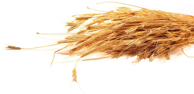 ingredienti-panificio Pane dell'anno 1000-panificio Pane dell'anno 1000 genova-pane dell'anno 1000- pane dell'anno 1000 genova-panificio genova-farina-biologica-lievito-naturale-pane-focaccia-grissini-dolci-spiga